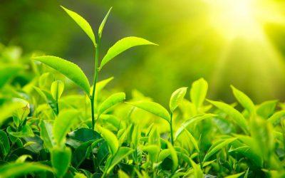 Polifenole dobrze wpływają na zdrowie i florę